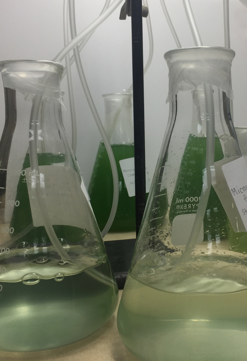 flasks growing cyanobacteria to test cyanocide blue green algae control
