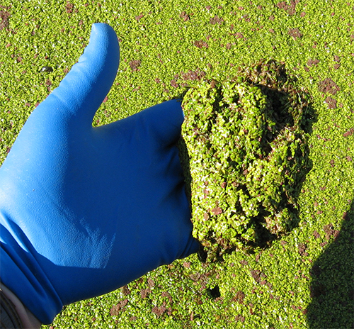 Blue gloved hand scooping up Duckweed in a wastewater pond