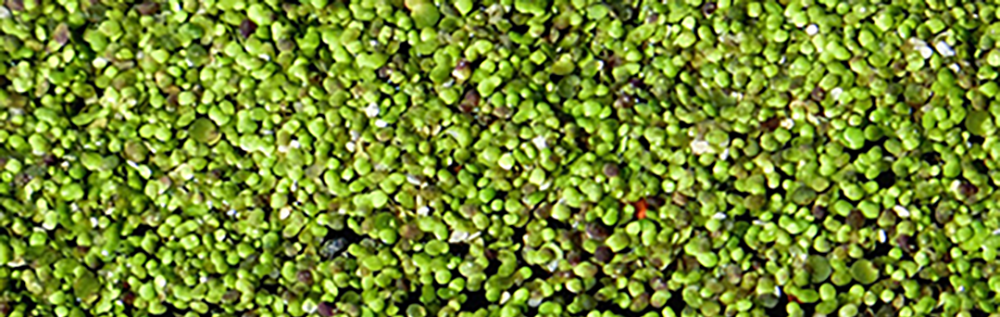Duckweed taking over a wastewater pond